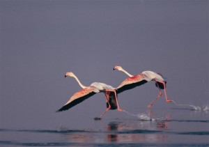 Two Greater Flamengoes (Phinicopterus roseus) at the Gediz Delta, Turkey