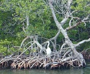 Mangrove forest, South Florida