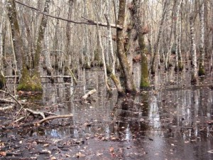 Freshwater tree dominated wetland in Italy