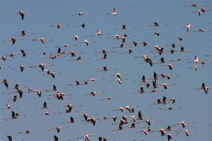 Flamingoes flying over the Massa river. Photo Credit: Souss Massa National Park
